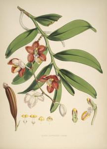 Art Prints of Vanda Cathcarti by Walter Hood Fitch