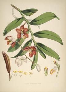 Art Prints of Vanda Cathcarti by Walter Hood Fitch