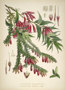 Art Prints of Vaccinium by Walter Hood Fitch