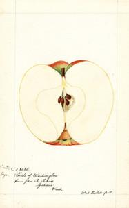 Art Prints of Cantrel Apple I by William Henry Prestele