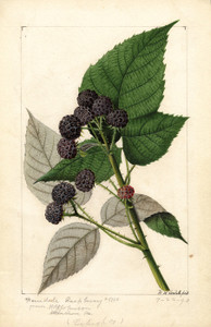 Art Prints of Ferndale Black Raspberries by William Henry Prestele