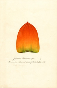 Art Prints of Hachiya Persimmon by William Henry Prestele