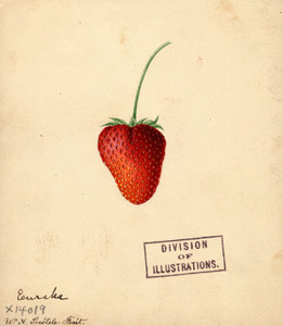 Art Prints of Eureka Strawberry by William Henry Prestele