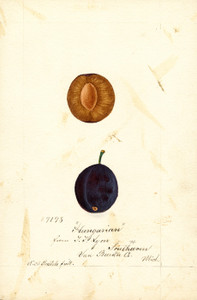 Art Prints of Hungarian Plums by William Henry Prestele