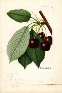 Art Prints of Hoke Cherries by William Henry Prestele
