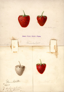 Art Prints of Humboldt Strawberries by William Henry Prestele