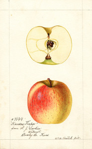 Art Prints of Kansas Keeper Apples by William Henry Prestele