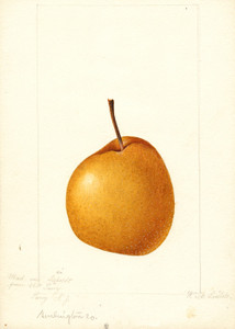 Art Prints of Madam Von Seiboldt Pear by William Henry Prestele