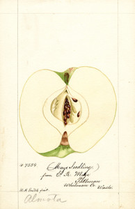 Art Prints of Maye Apples by William Henry Prestele