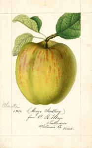 Art Prints of Maye Apple by William Henry Prestele