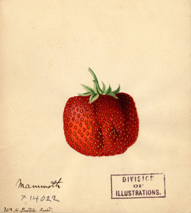 Art Prints of Mammoth Strawberry by William Henry Prestele