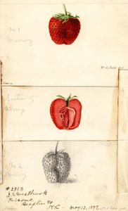 Art Prints of Murray Strawberries by William Henry Prestele