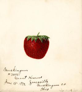 Art Prints of Muskingum Strawberry by William Henry Prestele