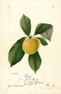 Art Prints of Ogon Plum by William Henry Prestele