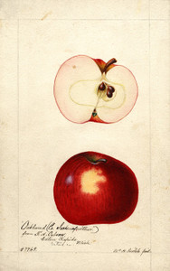 Art Prints of Oakland Apples by William Henry Prestele