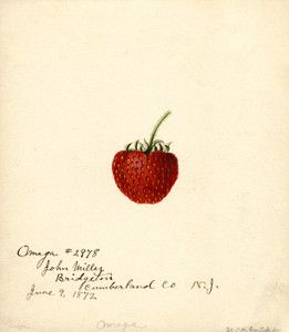 Art Prints of Omega Strawberry by William Henry Prestele