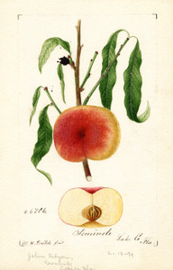 Art Prints of Seminole Apples by William Henry Prestele