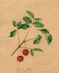 Art Prints of Surinam Cherry by William Henry Prestele