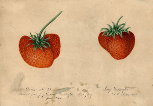 Art Prints of Strawberries II by William Henry Prestele