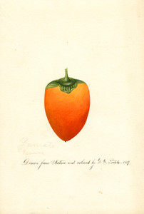 Art Prints of Yamato Persimmon II by William Henry Prestele
