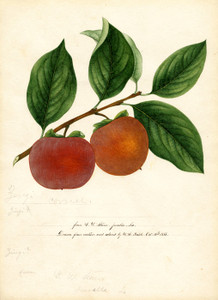 Art Prints of Zengi Persimmons IV by William Henry Prestele