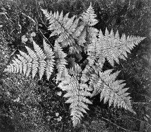 Art prints of Close-up of ferns, Glacier National Park, Montana