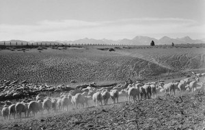 Art prints of Flock in Owens Valley, California, 1941 by Ansel Adams