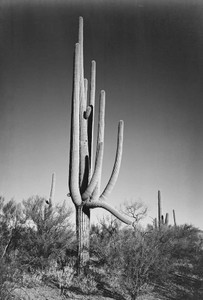 Art prints of Full view of cactus and surrounding shrubs, In Saguaro National Monument, Arizona