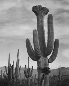 Art prints of Full view of cactus with others surrounding, Saguaros, Saguaro National Monument