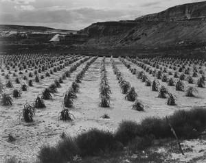 Art prints of Looking across rows of corn, Corn Field, Indian Farm near Tuba City, Arizona, in Rain