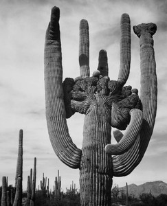 Art prints of View of cactus and surrounding area, Saguaros, Saguaro National Monument, Arizona by Ansel Adams