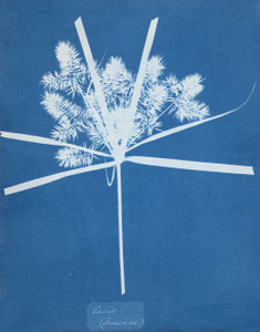 Art prints of Carix by Anna Atkins