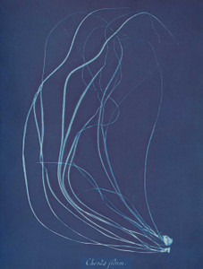 Art prints of Chorda filum or Dead Man's Rope or Sea Lace by Anna Atkins