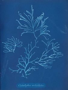 Art prints of Cladostephus verticillatus or Lightfoot by Anna Atkins