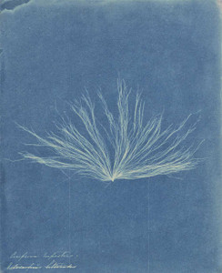 Art prints of Confervae or Water Plant by Anna Atkins