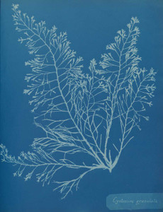 Art prints of Cystoseira granulata by Anna Atkins