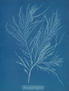 Art prints of Desmarestia liqulata by Anna Atkins