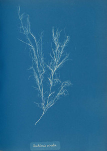 Art prints of Dichloria viridis by Anna Atkins