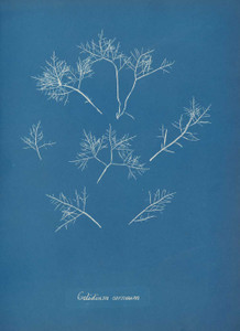 Art prints of Gelidium corneum or Hudson by Anna Atkins