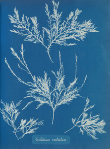 Art prints of Gelidium rostratum or Lyngbye by Anna Atkins