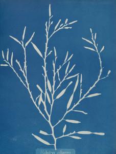 Art prints of Halydrys siliquosa by Anna Atkins