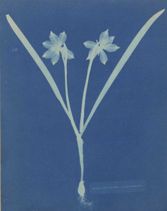 Art prints of Leucojam Varium or Giant Snowflake or Snowdrops by Anna Atkins