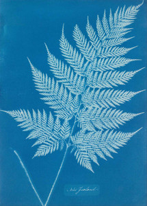 Art prints of New Zealand by Anna Atkins