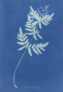 Art prints of Osmunda Rigalis or Royal Fern by Anna Atkins