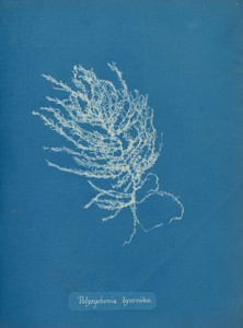 Art prints of Polysiphonia byssoides or Goodenough and Woodward by Anna Atkins