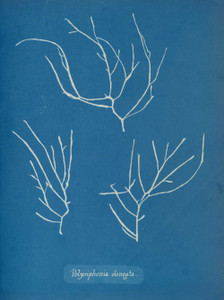 Art prints of Polysiphonia elongata by Anna Atkins