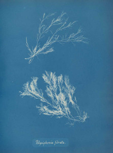Art prints of Polysiphonia fibrata or Dillwyn by Anna Atkins