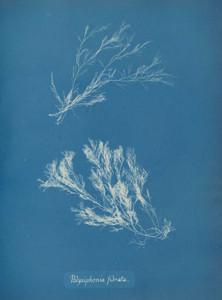 Art prints of Polysiphonia fibrata or Dillwyn by Anna Atkins