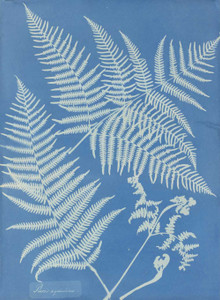 Art prints of Pteris aquilina or Eagle Fern by Anna Atkins