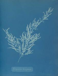 Art prints of Sargassum bacciferum by Anna Atkins